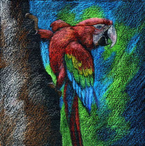 Macaw. Colored pencil on acrylic black on paper, by Jennifer Broschinsky